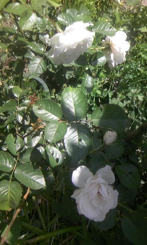 100515_102551白薔薇