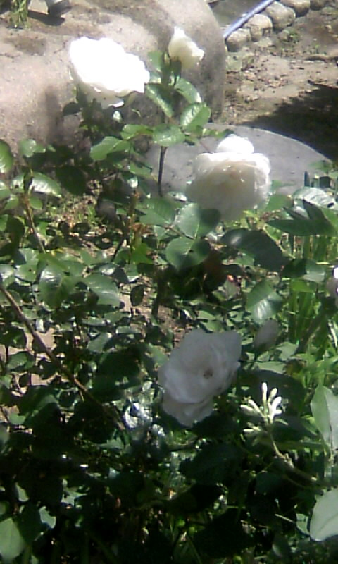 100515_103100白薔薇