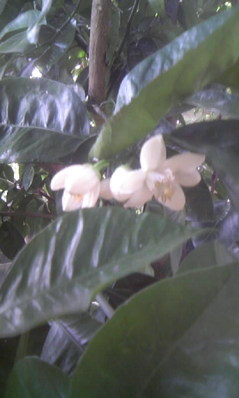 100515_153010柑橘の花