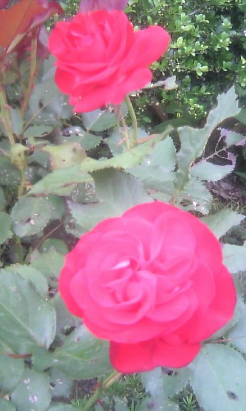 100517_070843薔薇