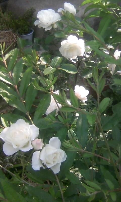 100517_070711白薔薇