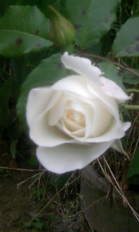 100516_061107薔薇