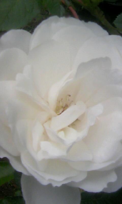 100516_060954白薔薇