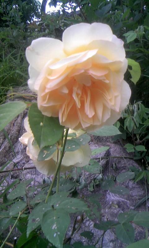 100516_060846薔薇