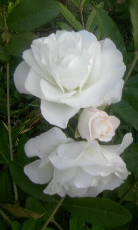 100518_060636白薔薇