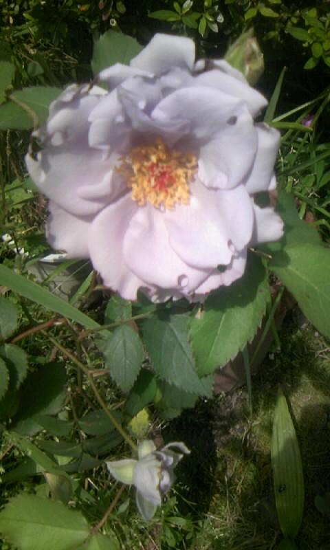 100518_101030ブルーの薔薇