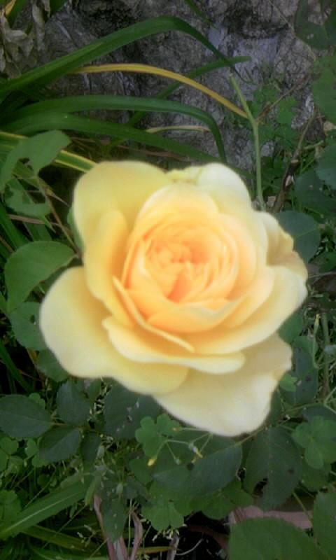 100522_065127薔薇