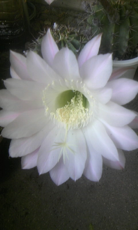 100521_070259サボテンの花