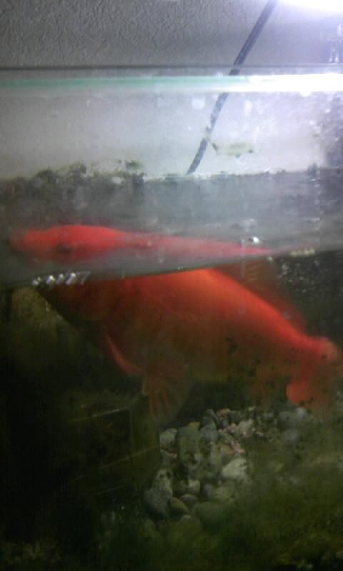 100521_173211金魚