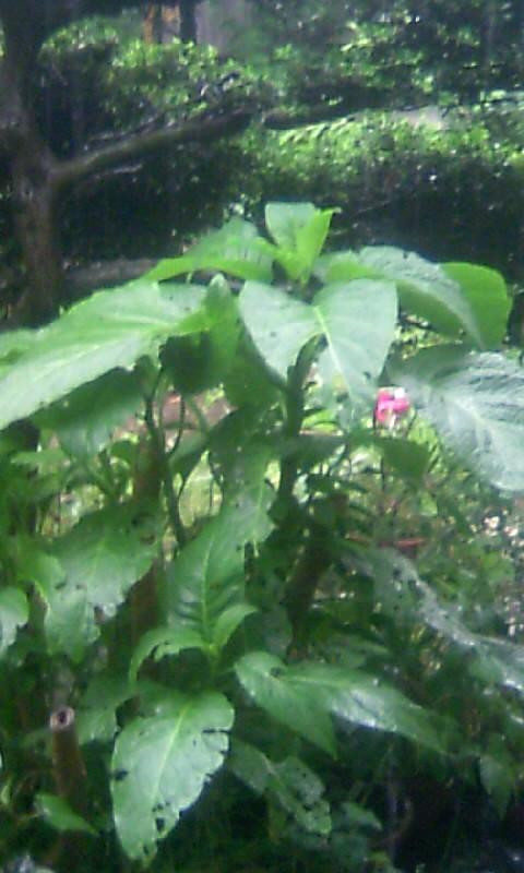 100524_134431エンジェルトランペットの葉