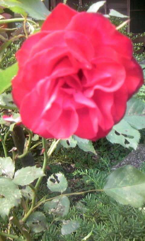 100525_145336紅い薔薇
