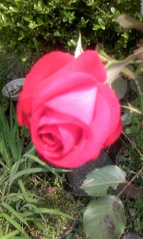 100525_110322紅い薔薇