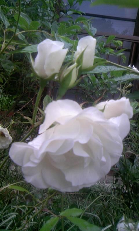 100526_061025白薔薇