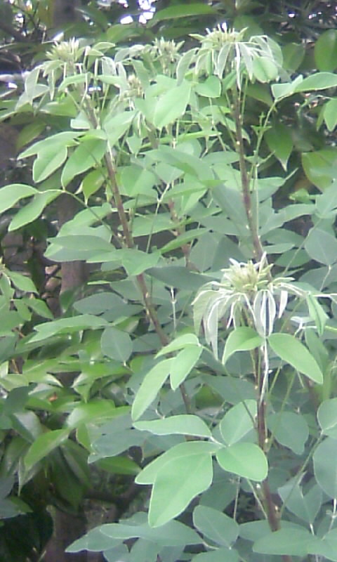 100526_085721萩の葉
