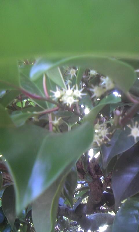 100527_114543クロガネモチの花
