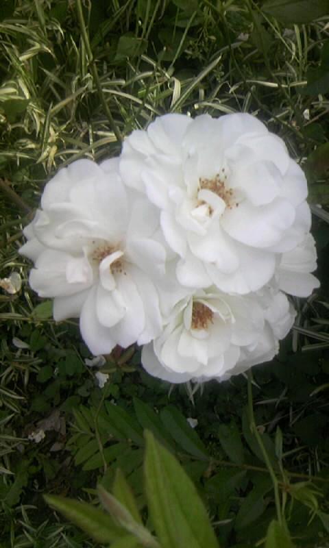 100529_065953白薔薇