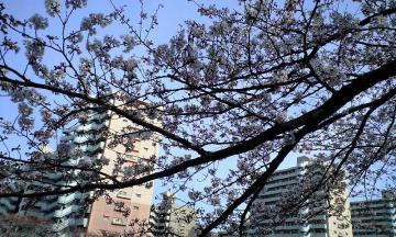 3月30日の桜他 001