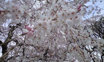 3月30日の桜他 006