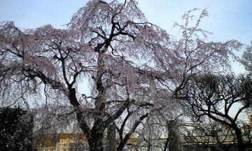 3月30日の桜他 007
