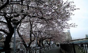 3月31日の桜2