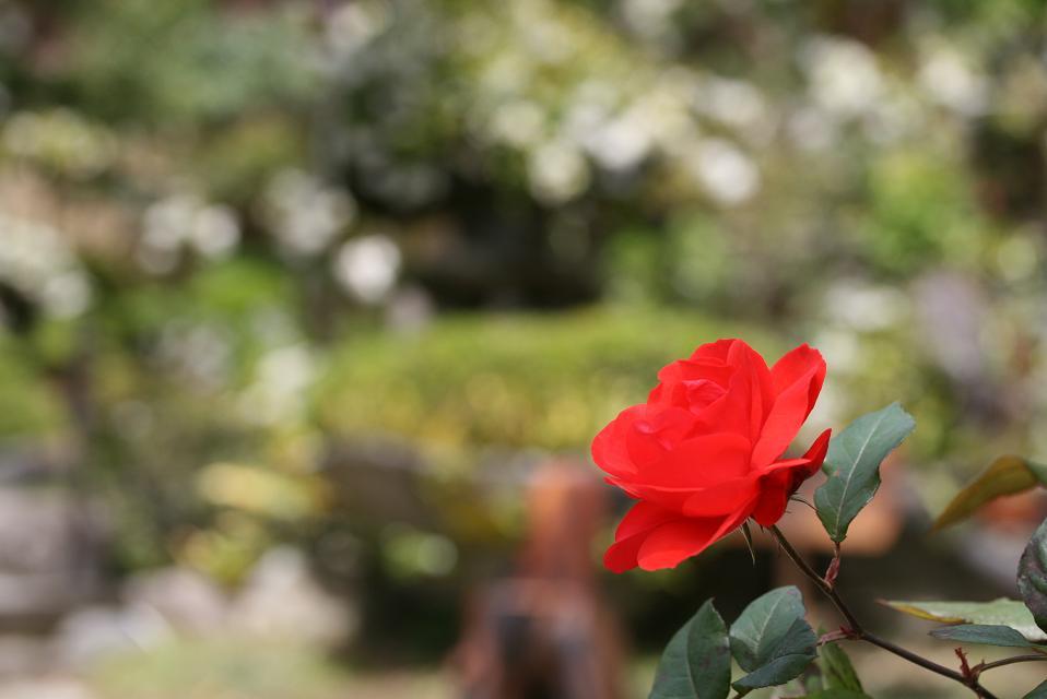 薔薇の花も咲きました。