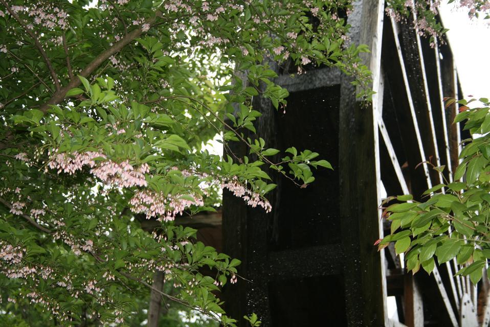 咲き始めたエゴノキの花と水車