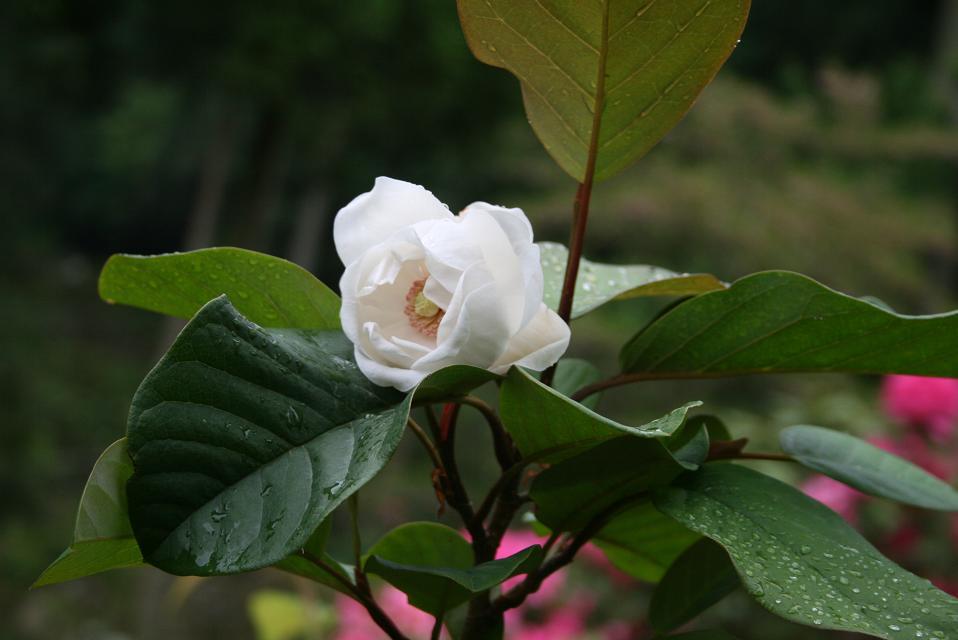 希少なオオヤマイワレンゲの花