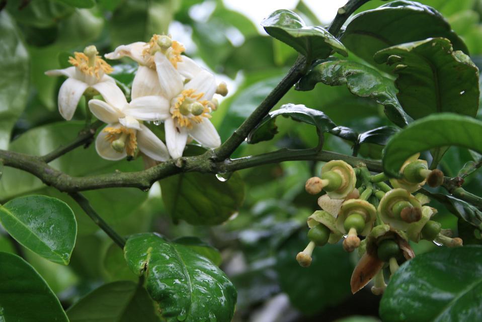 阿久根特産 ボンタンの花