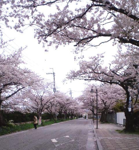 琵琶湖の桜
