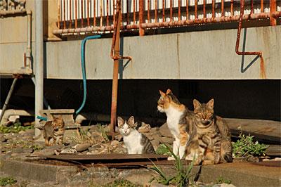 池島の猫16
