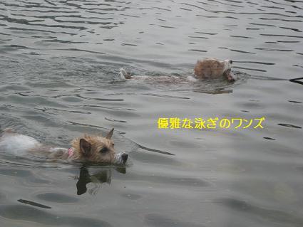 優雅な泳ぎのワンズ