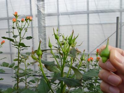 アレグリア芽摘み