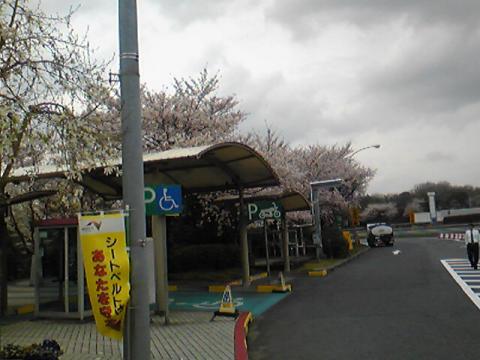 サービスエリアで桜が満開