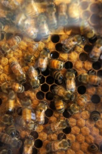 生きてるミツバチ