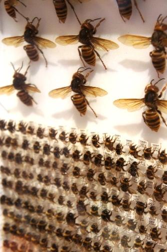 ミツバチの標本