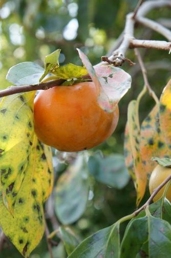 大多喜の柿