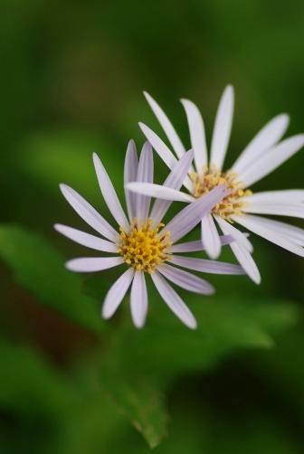 201111ノコン菊