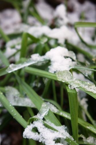 201201雪持ち水仙