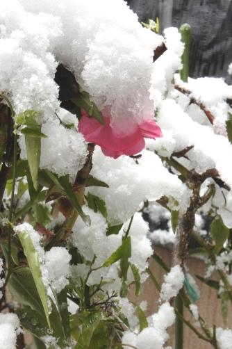 バラの上にも雪