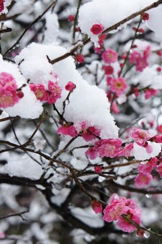 20120229雪持ちの紅梅