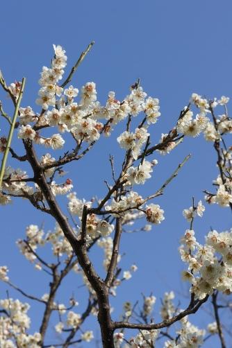 隅田公園の白梅