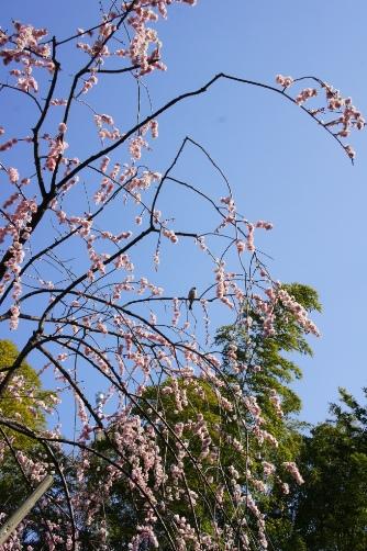 梅に鳥が留まってる