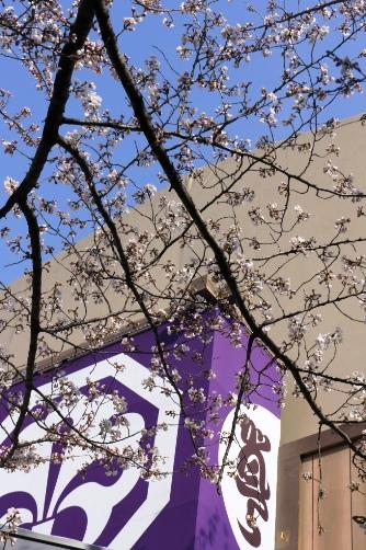 20120402中村座櫓と桜