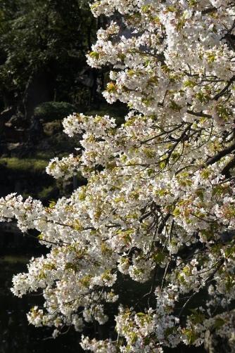 20120404伝法院の大島桜