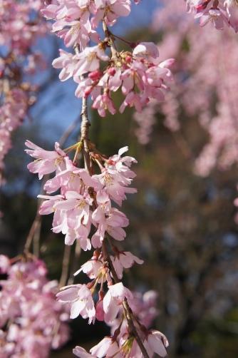 20120404伝法院の枝垂桜④