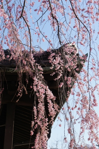 20120404伝法院の枝垂桜③