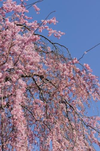 20120404伝法院の枝垂桜②