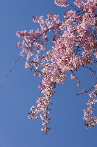 20120404伝法院の枝垂桜
