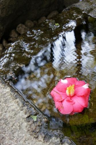 20120404伝法院庭園湧水の椿