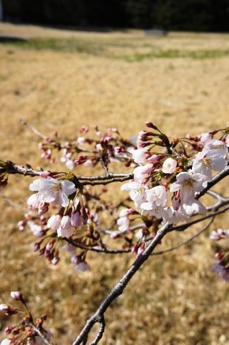 201204国立天文台桜③